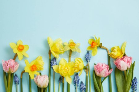 Photo for Top view of pink tulips, yellow daffodils and blue hyacinths on blue background - Royalty Free Image