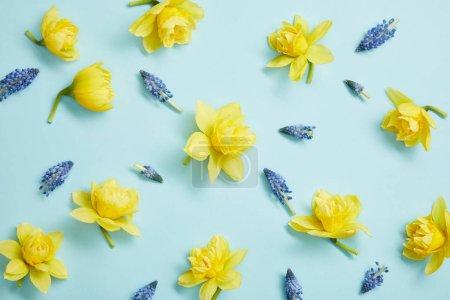 Photo pour Vue de dessus des narcisses jaunes et des jacinthes bleues fleurs sur fond bleu - image libre de droit