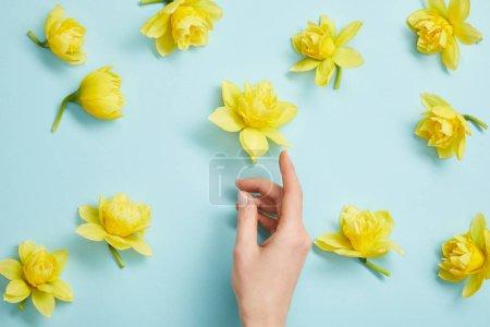 Photo pour Vue de dessus de la main femelle et fleurs narcisses jaunes sur fond bleu - image libre de droit