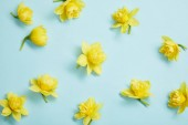top view of yellow narcissus flowers on blue background