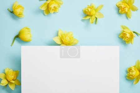 Photo for Top view of yellow narcissus flowers and white empty blank on blue background - Royalty Free Image