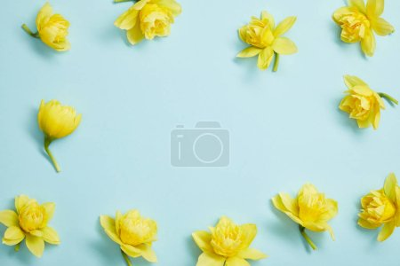 top view of yellow narcissus flowers on blue background with copy space