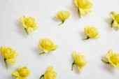 top view of yellow narcissus flowers on white