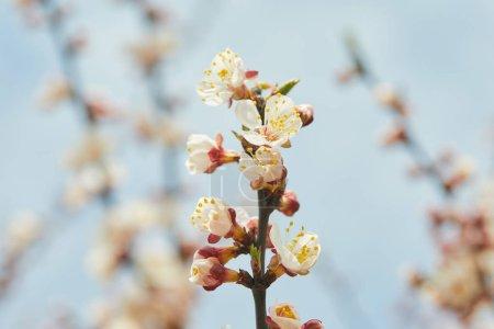 Foto de Tree branch with blooming flowers on blue sky background - Imagen libre de derechos