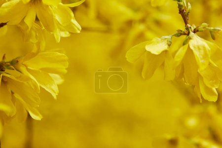 Photo for Close up of yellow blooming flowers on tree branches - Royalty Free Image