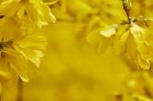 "Постер, картина, фотообои ""close up of yellow blooming flowers on tree branches"""