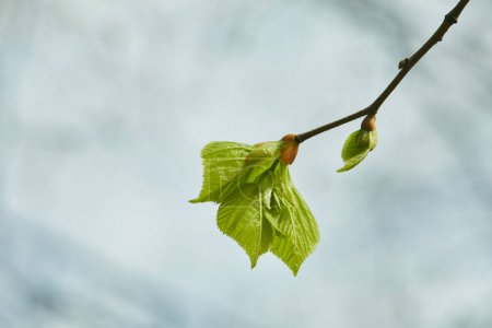 Photo for Close up of buds and blooming green leaves on tree branch - Royalty Free Image