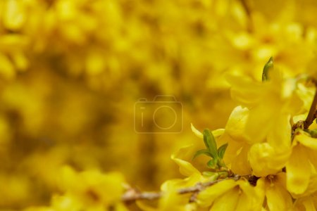 Photo for Close up of yellow blossoming flowers with petals on tree branches - Royalty Free Image