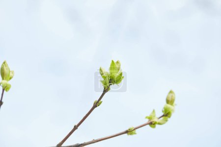 Photo for Close up of tree branches with blooming green leaves with clear blue sky on background - Royalty Free Image