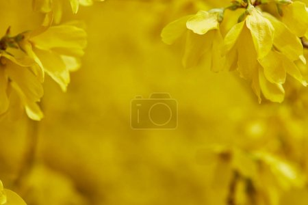 Photo for Close up of yellow flowers in blossom on tree branches - Royalty Free Image