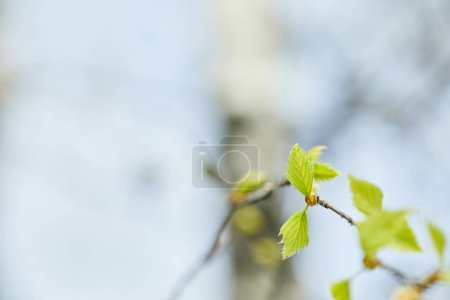 Photo for Selective focus of green leaves on tree branch in spring - Royalty Free Image