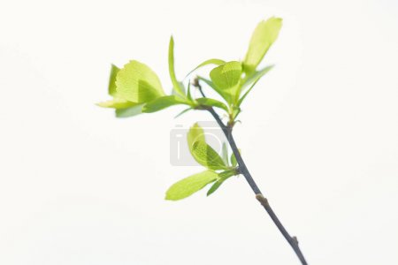 close up of green blooming leaves on tree branch in spring isolated on white