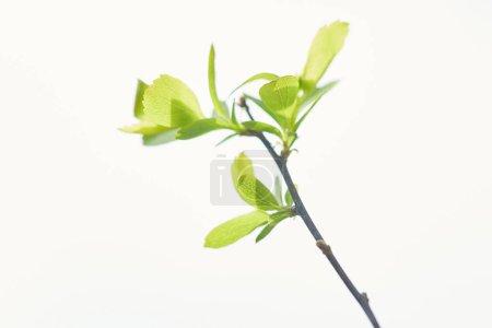 Foto de Primer plano de hojas verdes en flor en la rama del árbol en primavera aislada en blanco - Imagen libre de derechos