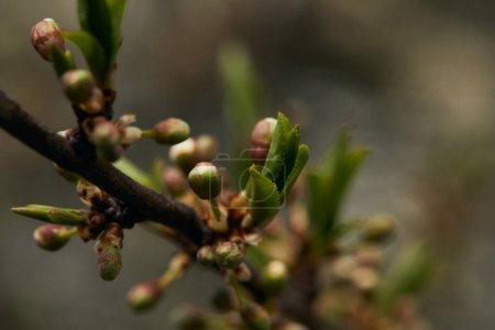 Foto de Close up of green blooming leaves and buds on tree branch in spring - Imagen libre de derechos