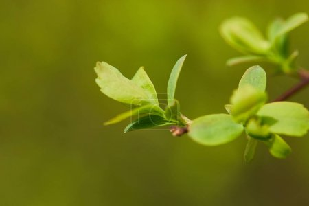 Photo for Close up of green fresh blooming leaves on tree branch in spring - Royalty Free Image