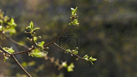 Photo pour Foyer sélectif des branches d'arbres avec des feuilles vertes en floraison au soleil - image libre de droit