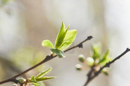 Photo pour Foyer sélectif des branches d'arbres avec des feuilles vertes au soleil - image libre de droit