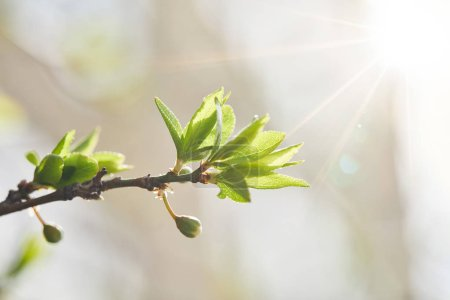 Photo pour Close up of tree branch with green leaves and shining sun - image libre de droit