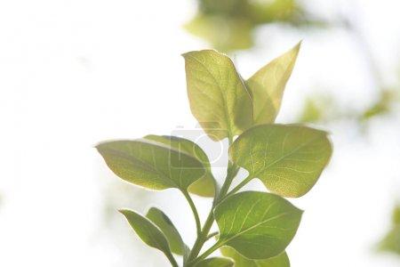Foto de Rama de árbol con hojas verdes en la luz del sol sobre el fondo borroso - Imagen libre de derechos