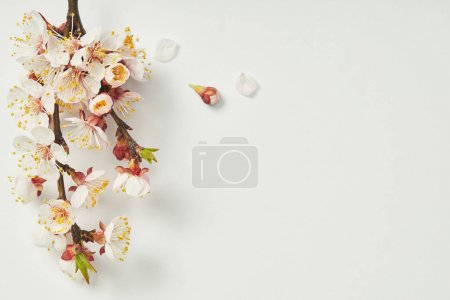 top view of tree branch with blooming spring flowers and petals on white background