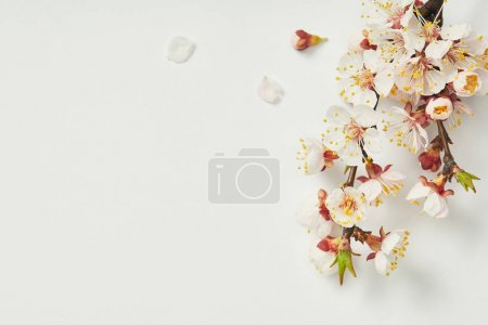 Photo for Top view of tree branch with blooming spring flowers and white petals on white background - Royalty Free Image