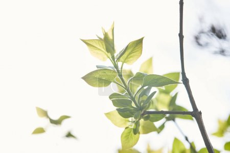 Photo pour Tree branch with green leaves in spring sunlight - image libre de droit