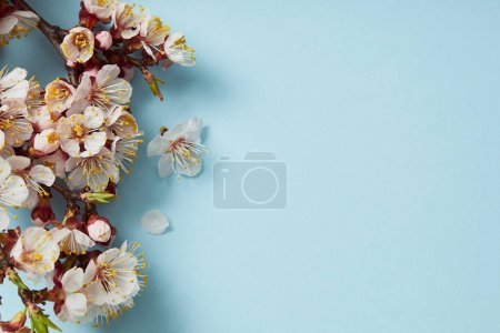Photo pour Top view of tree branch with blossoming spring flowers on blue background - image libre de droit