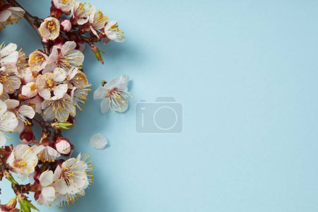 Photo for Top view of tree branch with blossoming spring flowers on blue background - Royalty Free Image