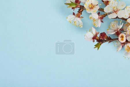 Foto de Primer plano de la rama del árbol con flores blancas en flor sobre fondo azul - Imagen libre de derechos