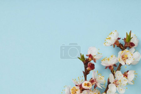 close up of tree branch with blossoming spring white flowers on blue background
