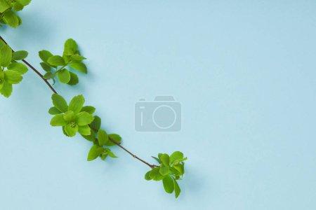 Foto de Vista superior de la rama del árbol con hojas verdes en flor sobre fondo azul - Imagen libre de derechos