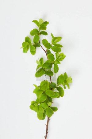 Foto de Vista superior de la rama del árbol con hojas verdes en flor sobre fondo blanco - Imagen libre de derechos