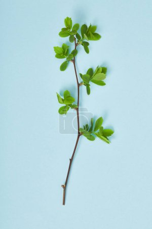 Foto de Vista superior de la rama del árbol con hojas verdes de primavera en flor sobre fondo azul - Imagen libre de derechos