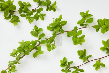 top view of tree branches with blooming green leaves on white background