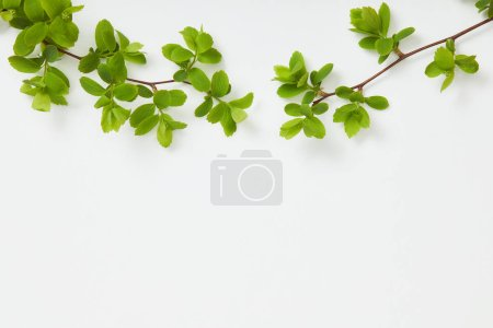 Photo for Top view of branches with blooming green leaves on white background - Royalty Free Image