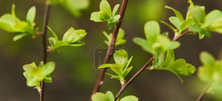 Photo for Panoramic shot of green blooming leaves on tree branches in spring - Royalty Free Image