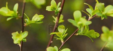 Foto de Panoramic shot of green blooming leaves on tree branches in spring - Imagen libre de derechos