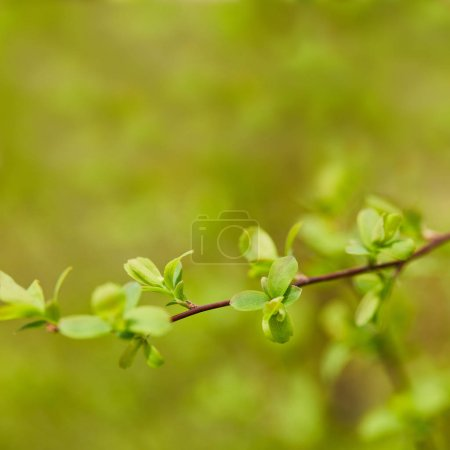 Photo for Close up of green leaves on tree branch in springtime - Royalty Free Image