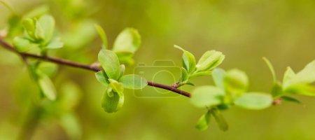 Foto de Foto panorámica de hojas verdes en la rama del árbol en primavera - Imagen libre de derechos