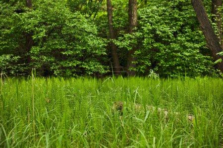 Photo pour Paysage avec herbe verte sur fond de forêt - image libre de droit