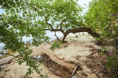 Photo for Green leaves on trees branches near river with sand coastline - Royalty Free Image
