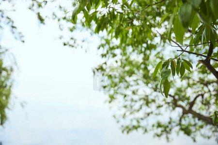 Foto de Rama de árbol con hojas verdes sobre fondo azul del cielo - Imagen libre de derechos