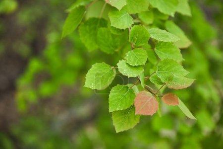Photo pour Foyer sélectif des feuilles de source et vertes sur des branches d'arbre - image libre de droit