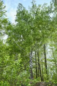 "Постер, картина, фотообои ""Low angle view of green forest trees on blue sky background"""