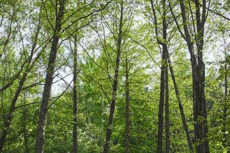 Photo pour Vue d'angle bas des arbres verts dans la forêt sur le fond bleu de ciel - image libre de droit
