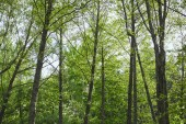 """Постер, картина, фотообои """"Low angle view of green trees in forest on blue sky background"""""""