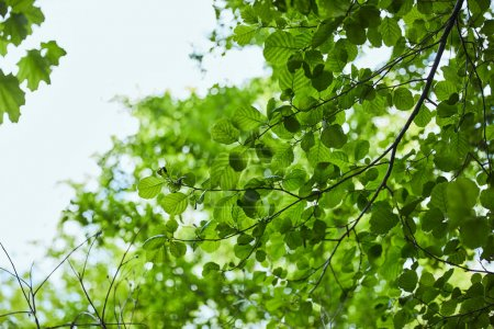 Photo for Low angle view of green leaves on blue sky background - Royalty Free Image