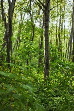 Photo pour Feuilles vertes sur les plantes et les arbres dans la forêt d'été - image libre de droit