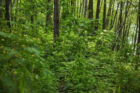 Photo pour Plantes vertes, arbres et herbe dans la forêt d'été - image libre de droit