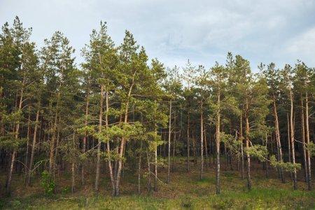 Photo pour Paysage de forêt de pin avec des arbres sous le ciel bleu - image libre de droit
